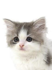 子猫,ペットショップ,動物プロダクション,ペットモデル,モデル猫,タレント猫,ラガマフィン