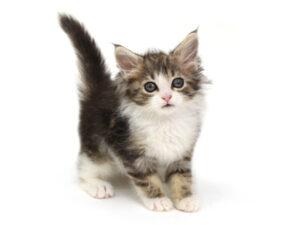 動物プロダクション,ペットモデル,モデル猫,タレント猫,ノルウェージャンフォレストキャット
