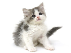動物プロダクション,ペットモデル,モデル猫,タレント猫,ラガマフィン