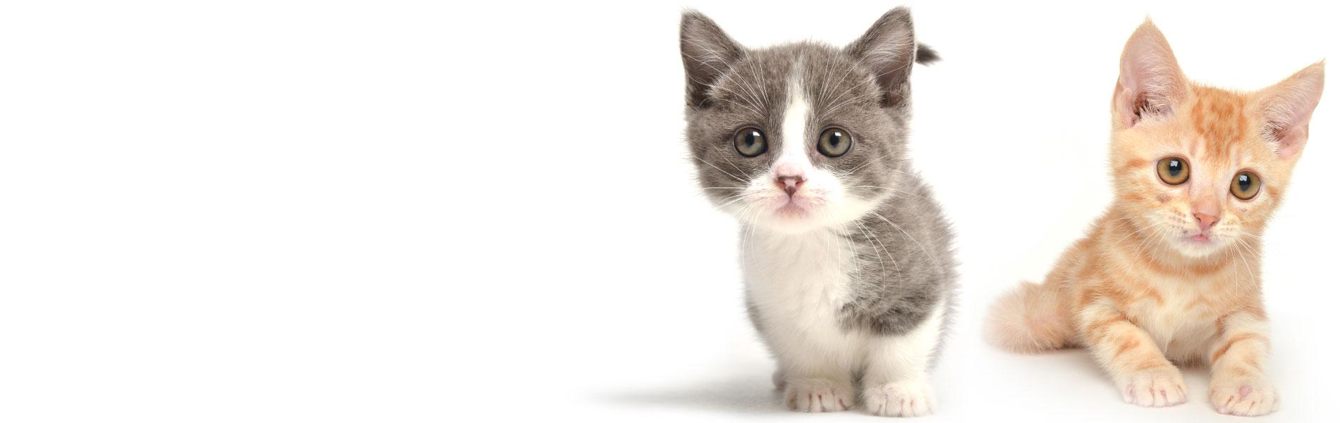 子猫のペットモデル
