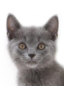 子猫,ペットショップ,キャットスタイル,動物プロダクション,ペットモデル,ペットタレント,モデル猫,タレント猫,シャルトリュー