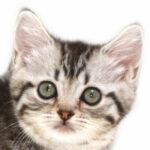 子猫,ペットショップ,キャットスタイル,動物プロダクション,ペットモデル,ペットタレント,モデル猫,タレント猫,マンチカン
