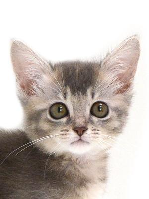 子猫,ペットショップ,動物プロダクション,ペットモデル,モデル猫,タレント猫,ソマリ