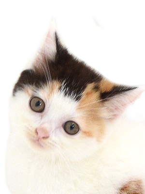 子猫,ペットショップ,動物プロダクション,ペットモデル,ペットタレント,モデル猫,タレント猫,スコティッシュフォールド
