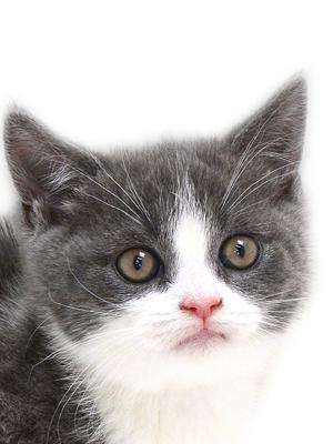 子猫,ペットショップ,キャットスタイル,動物プロダクション,ペットモデル,ペットタレント,モデル猫,タレント猫,ブリティッシュショートヘア