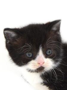 子猫,ペットショップ,キャットスタイル,動物プロダクション,ペットモデル,ペットタレント,モデル猫,タレント猫,MIX猫