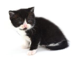 動物プロダクション,ペットモデル,ペットタレント,モデル猫,タレント猫,MIX猫