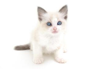動物プロダクション,ペットモデル,ペットタレント,モデル猫,タレント猫,ラグドール