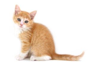 子猫,,キャットスタイル,動物プロダクション,ペットモデル,ペットタレント,モデル猫,タレント猫,マンチカン