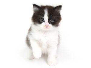 動物プロダクション,ペットモデル,モデル猫,タレント猫,サイベリアン
