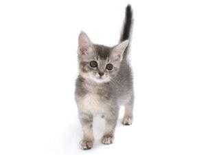 動物プロダクション,ペットモデル,モデル猫,タレント猫,ソマリ