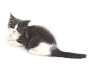 動物プロダクション,ペットモデル,ペットタレント,モデル猫,タレント猫,ブリティッシュショートヘア