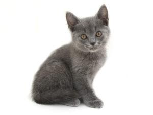 動物プロダクション,ペットモデル,ペットタレント,モデル猫,タレント猫,シャルトリュー