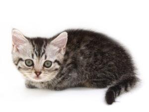 動物プロダクション,ペットモデル,ペットタレント,モデル猫,タレント猫,マンチカン