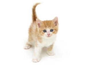 動物プロダクション,ペットモデル,モデル猫,タレント猫,スコティッシュフォールド