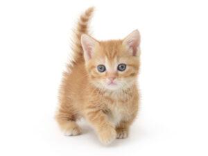 子猫,ペットショップ,動物プロダクション,ペットモデル,ペットタレント,モデル猫,タレント猫,マンチカン