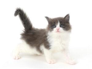 子猫,ペットショップ,動物プロダクション,ペットモデル,ペットタレント,モデル猫,タレント猫,ノルウェージャンフォレストキャット