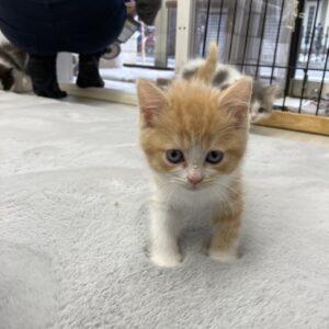 ペットモデルの子猫
