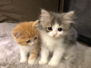 子猫,ペットショップ,キャットスタイル,動物プロダクション,ペットモデル,ペットタレント,モデル猫,タレント猫,ラガマフィン,スコティッシュフォールド
