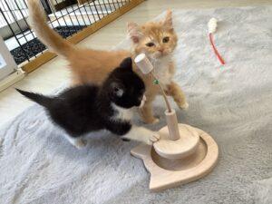 子猫,ペットショップ,キャットスタイル,動物プロダクション,ペットモデル,ペットタレント,モデル猫,タレント猫,マンチカン,MIX