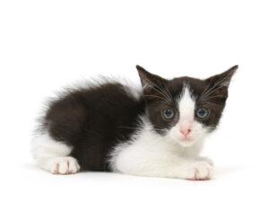 子猫,ペットショップ,動物プロダクション,ペットモデル,モデル猫,タレント猫,マンチカン