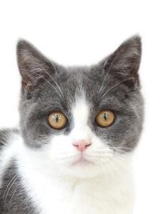 子猫,ペットショップ,動物プロダクション,ペットモデル,ペットタレント,モデル猫,タレント猫,ブリティッシュショートヘア