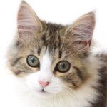 子猫,ペットショップ,動物プロダクション,ペットモデル,モデル猫,タレント猫,ノルウェージャンフォレストキャット