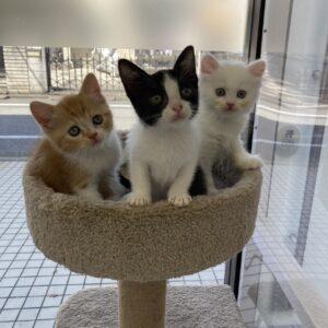 子猫,ペットショップ,動物プロダクション,ペットモデル,モデル猫,タレント猫,スコティッシュフォールド