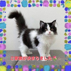 子猫,ペットショップ,動物プロダクション,ペットモデル,モデル猫,タレント猫,サイベリアン