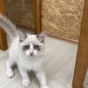 子猫,ペットショップ,キャットスタイル,動物プロダクション,ペットモデル,ペットタレント,モデル猫,タレント猫,ラグドール